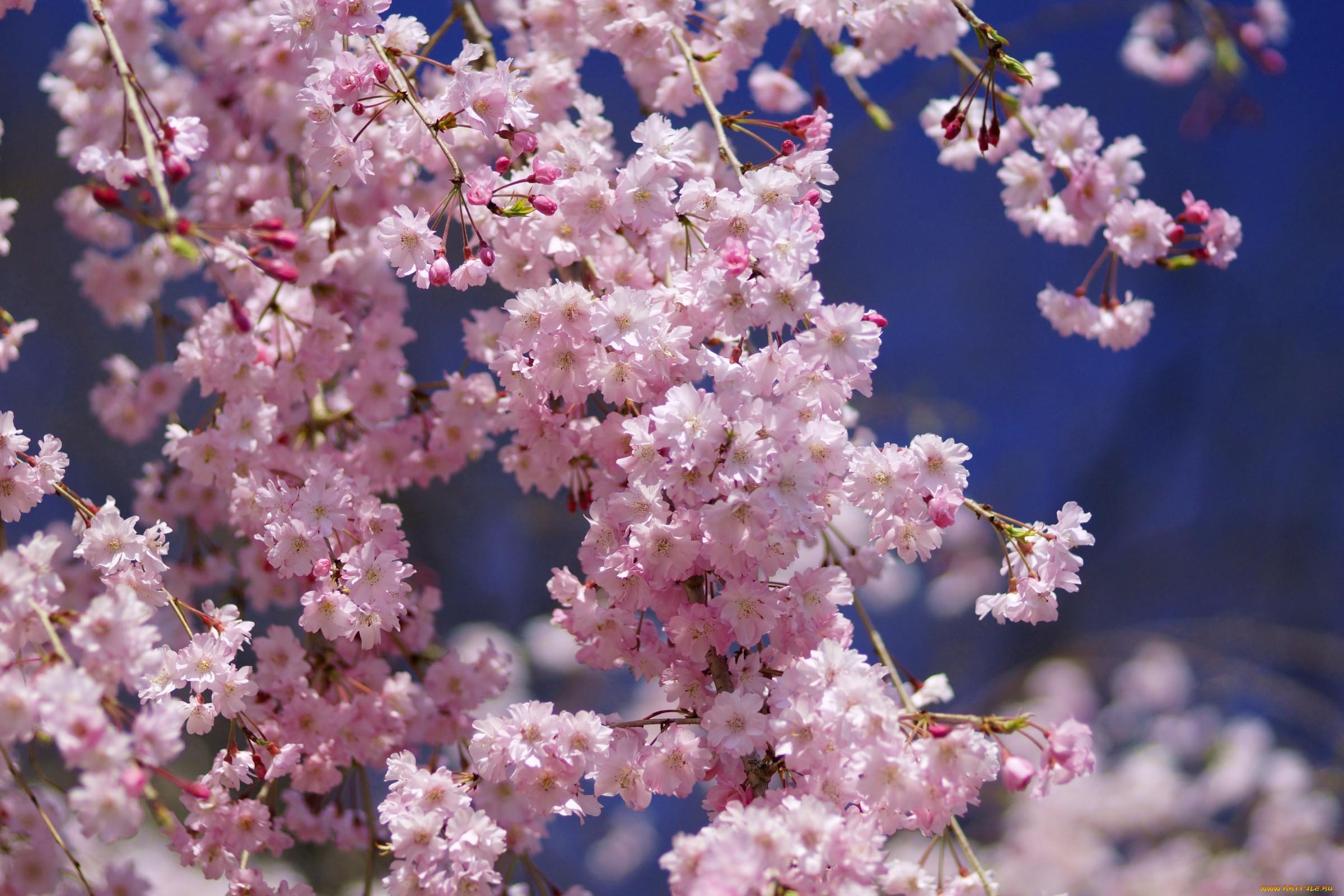 скачать картинки цветок сакуры